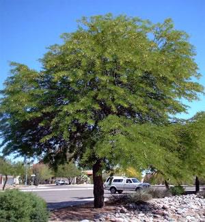 درخت کهور
