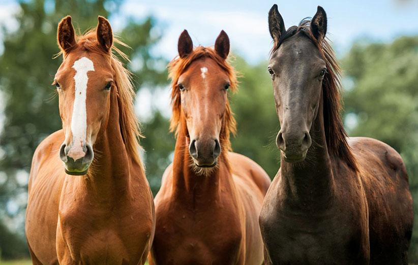 اسب های بومی محلی گیلان