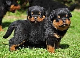 سگ روتوایلر Rottweiler