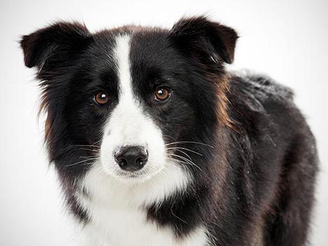 سگ بردر کلی Border Collie