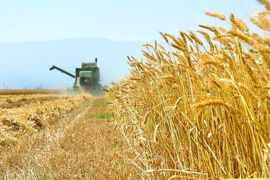 برداشت 900 هزار تن گندم از مزارع کرمانشاه