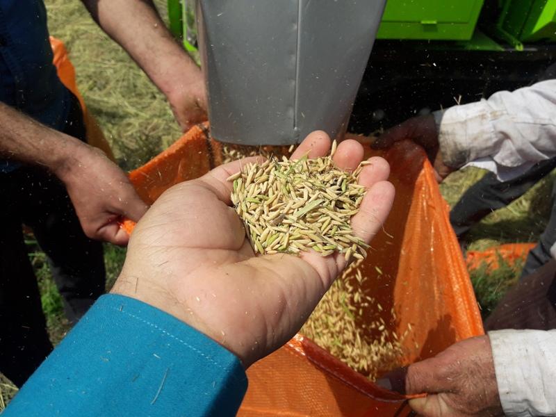 برداشت برنج در صومعه سرا