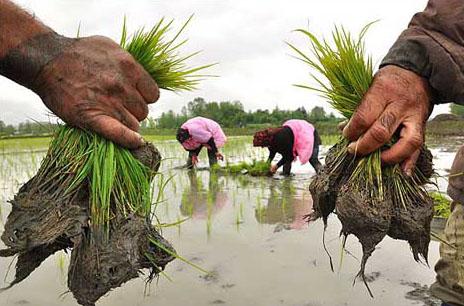 نشا-برنج-کاری