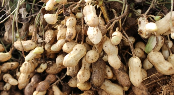 آغاز برداشت بادام زمینی در آستانه اشرفیه