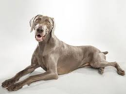 سگ وایمارانر Weimaraner