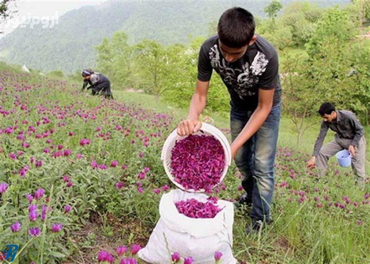 شوید، زیره، مرزنگوش، گل محمدی و بادرنجوبه بیشترین گیاهان دارویی یزد