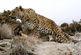 حمله پلنگ به گله گوسفندان در بشاگرد
