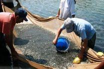 رهاسازی 40 هزار قطعه بچه ماهی سفید