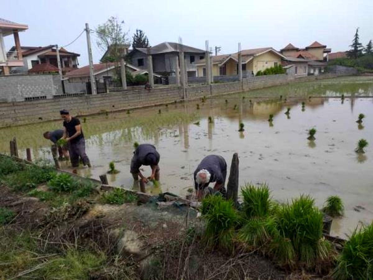 آغاز نشاء برنج در 1000 هکتار از شالیزارهای نوشهر