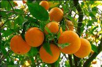 اعلام قیمت پرتقال شب عید در مازندران