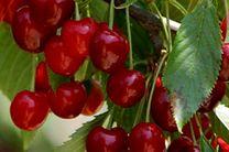 پیش بینی برداشت بیش از هفت هزار تن گیلاس از باغات استان اصفهان