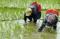 نشا برنج شالیزار های گیلان پایان یافت