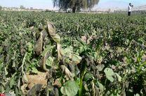 خسارت سرما زدگی محصولات جالیزی جنوب و جنوب غرب استان در دست ارزیابی است
