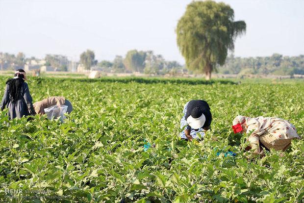 ایجاد یک هزار شغل در بخش کشاورزی هرمزگان
