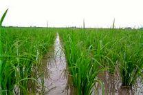 باران شالیزارهای گیلان را سیراب کرد