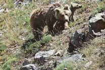 کمیته حفاظت از خرسهای ایران عضو داوطلبانه میپذیرد