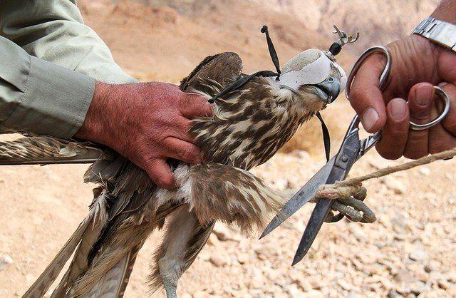 دستگیری قاچاقچی  پرندگان شکاری در شهرستان جاسک