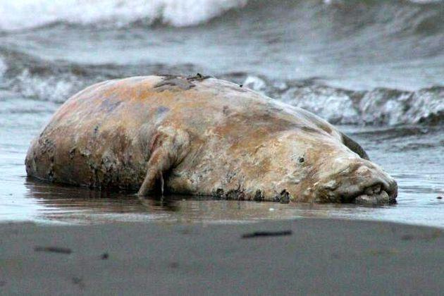 پیدا شدن لاشه یک فک خزری در ساحل بندرانزلی
