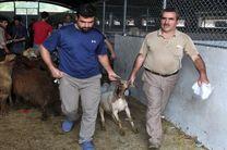 جانمایی شهرداری رشت پیرامون عرضه و ذبح گوسفند زنده