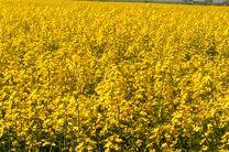آغاز نخستین برداشت رتون و کاشت جو در اراضی میاندورود