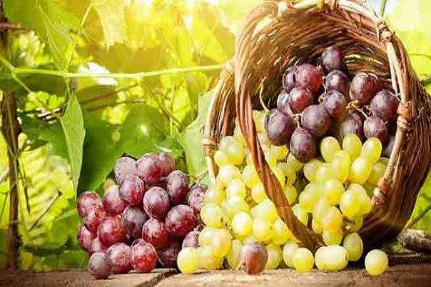 آغاز برداشت انگور یاقوتی از باغات شهرستان سیروان
