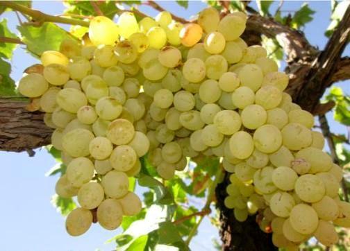 افزایش 11 درصدی برداشت انگور نسبت به سال گذشته در اصفهان