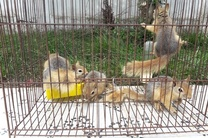 کشف 7 قطعه سنجاب ایرانی در رشت