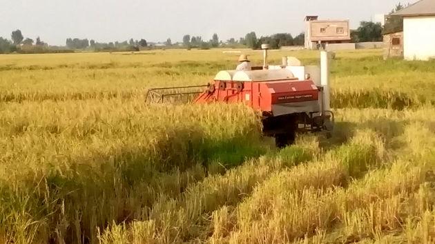 اولین برداشت مکانیزه برنج در شالیزارهای نکا انجام شد