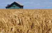 پیش بینی تولید 9 الی 10 میلیون تن گندم در سال 97