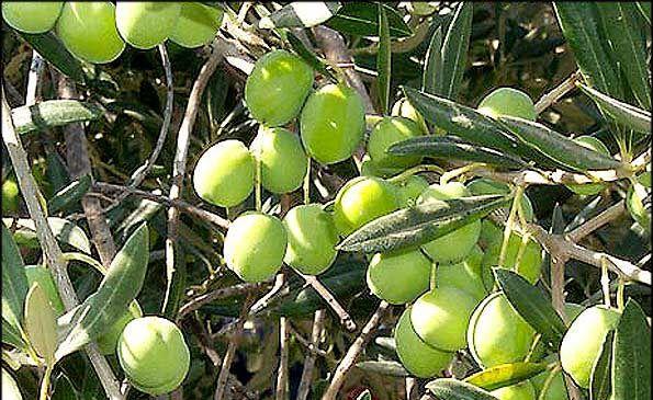 برداشت 75 تن  زیتون از باغ های خوروبیابانک