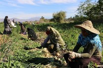 لزوم  ایجاد صنایع تبدیلی در قطب های کشاورزی هرمزگان