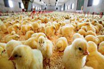 رشد ۳۷ درصدی جوجه ریزی در مرغداریهای هرمزگان