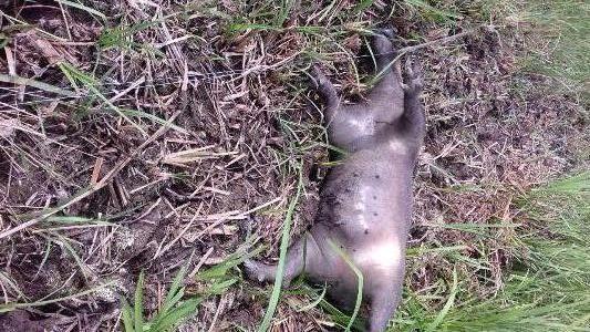 دستگیری متخلفین شکار و فروش گراز وحشی در رشت