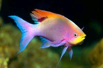 گونهای از ماهیها که چهره انسان را تشخیص میدهند