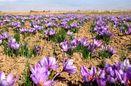 استحصال 75کیلوگرم زعفران از مزارع استان