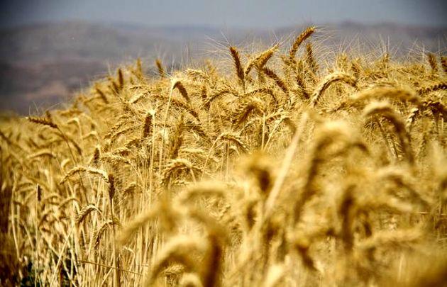 اولین محموله آرد گندم یزد به خارج از کشور صادر شد