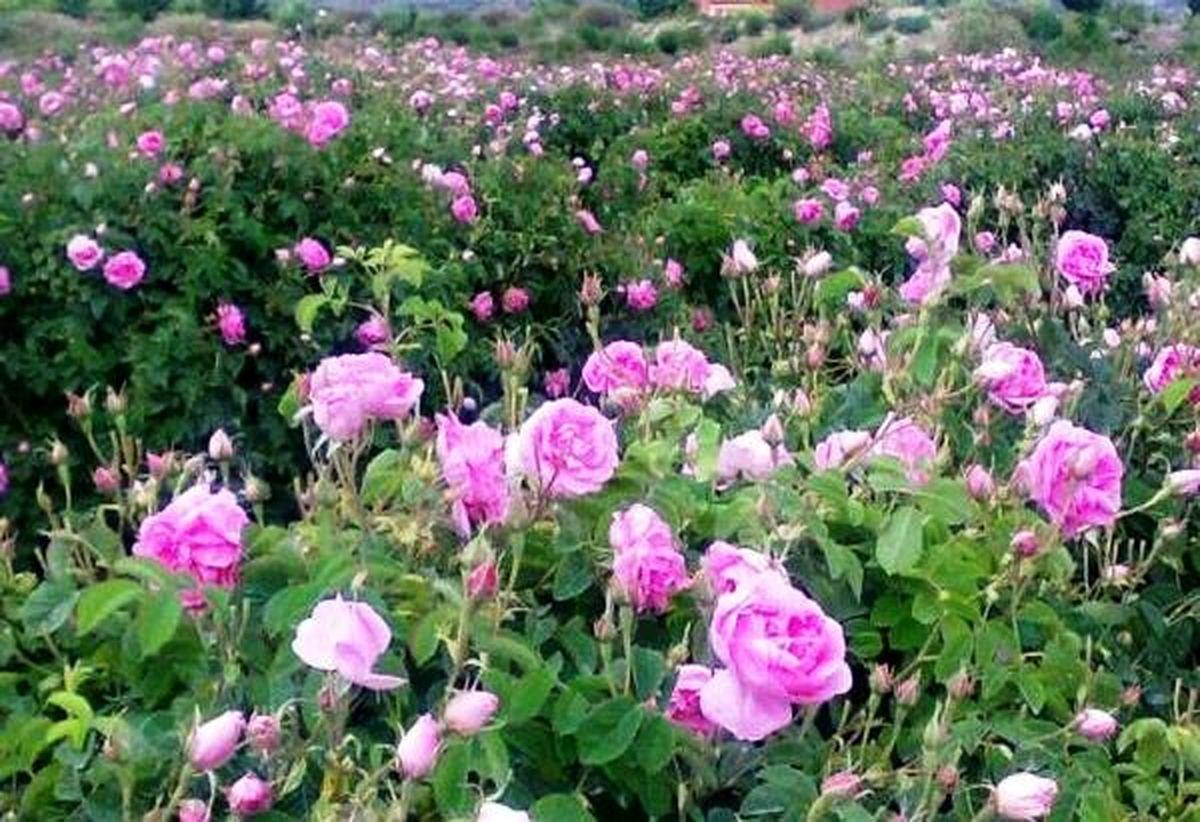 برداشت 56 تن برگ گل محمدی در بخش کجور نوشهر