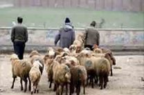 بازارهای دام مشهد آماده تحویل دام زنده بهداشتی به خیرین در روز عید قربان