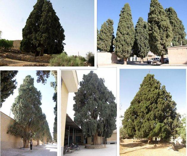 سرو کهنسال استان فارس به ثبت ملی رسید