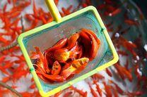مردم از رهاسازی ماهیهای قرمز در رودخانههای مازندران خودداری کنند