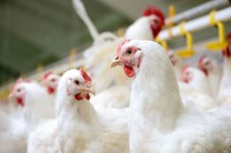 بیش از دو هزار مرغ قاچاق با ارزش 600 میلیون ریال کشف شد