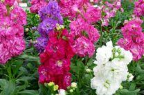 تولید بیش از 11 میلیون گلدان گل شب بو در خمینی شهر