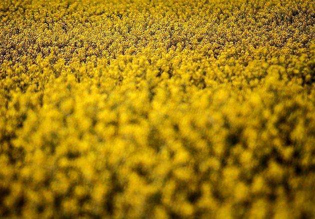 توزیع ۳۲۰ تن بذر کلزا بین کشاورزان استان گلستان