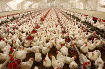 سیر صعودی تولید گوشت مرغ در خوزستان