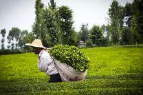 کاهش تولید چای در مازندران و گیلان