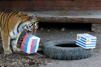 پیشگویی یک ببر درباره بازی روسیه و اروگوئه/ روسیه برنده است