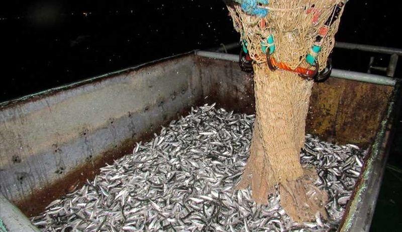 صید ۱۸ هزار و ۸۰۰ تن کیلکا در مازندران