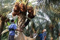 پیگیر بیمه کردن درختان خرما هستیم / کشاورزان محصولات خود را به دلال ها نفروشند