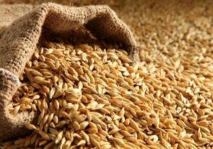 تولید  ۱۰ تن بذرجو در هرمزگان برای نخستین بار