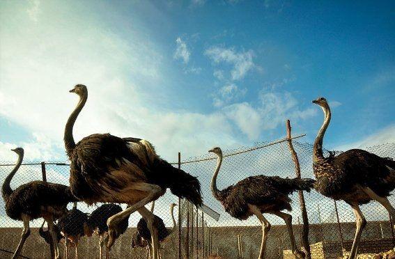 توسعه صنعت پروار بندی شتر مرغ